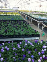 pansies and violas in the greenhouse